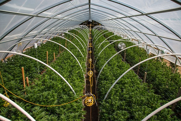 Cannabis in greenhouse